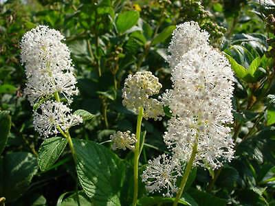 30+ CEANOTHUS  NEW JERSEY TEA FLOWER SEEDS / PERENNIAL SHRUB / DROUGHT -