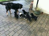 Bernese x labrador puppies
