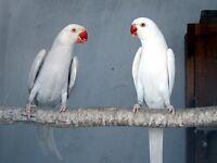 Wonderful Latino white blue baby ring neck Talking Parrot