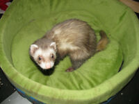 Ferrets looking for new homes