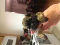 Tiny Morkie puppies available for their new homes soon!