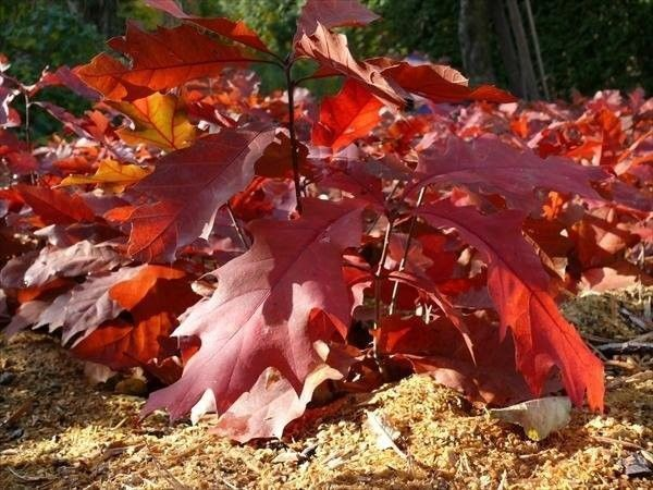 Bare Rooted 3fatpigs/® 3 Red Oak Trees//Quercus Rubra Hedging Plants 1-2ft Tall