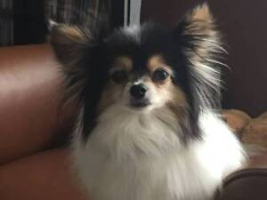 Missing Papillion Dog - Downtown Vancouver