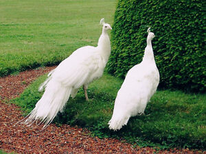 Wanted: White peacock/ peahen