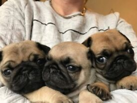 Pug Puppies For Rehoming.