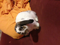 6 month old Holland Lop
