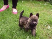 Female cairn terrier pup