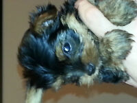PUREBRED YORKSHIRE TERRIER PUPPIES FOR SALE