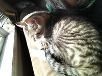 5 month old tabby for sale
