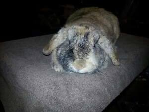 Mini Lop Harlequin fur colour rabbit named Dorito (he is fixed)