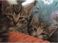 **1 left ** tabby kittens