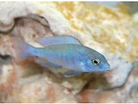 African cihclids dolphins quality 4cm