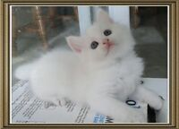 SNOW WHITES PERSIAN KITTENS