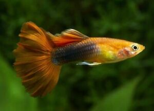 Guppies Sale | Buy or Sell Fish in Ontario | Kijiji Classifieds