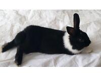 Dutch Rabbit - Bella