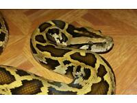 Female Burmese python
