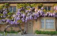 Welcome the Wisteria Vine  ------ 450+ Purple Foot Long Flower!!