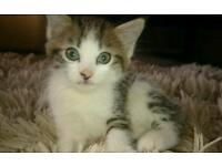 9 wk old female kitten