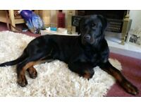 Ollie the Rottweiler needs a new home