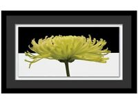 Stunning framed Chrysanthemum print - like new and ready to hang!
