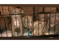 XL AMERICAN BULLY FULL CHAMPAGNE LITTER