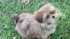 Maltese-Yorkie Puppies (Morkies)