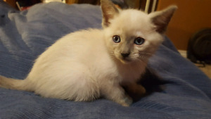 Blue Point Siamese Kitten: ready for her home