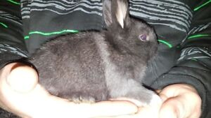 Dwarf bunny rabbit's and mom for sale,