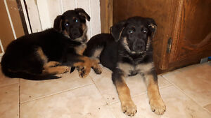 2 FEMALE FULL BREED GERMAN SHEPHERD PUPS READY TO GO TODAY