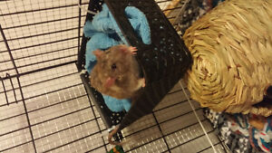 *price drop!* energetic male rat with his cage