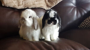 Two Holland Lop Bunnies Need Caring Home