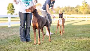 Dog Show Handling Classes
