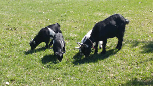 Young pygmy goats