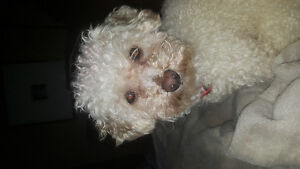 Lost Toy Poodle
