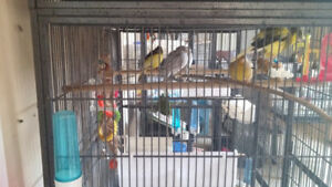 Male Singing Canaries for Sale
