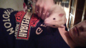 2 bonded male rats eith ferret nation cage * REDUCED NEED GONE