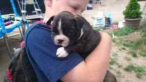 Stunning 3/4 French Bulldog 1/4 Boston Puppy
