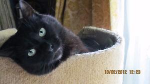 Lost cat near Pine & Strathcona   Reward offered Prince George British Columbia image 2