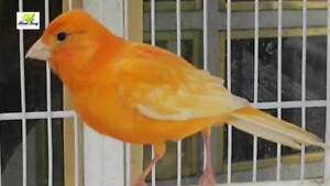 Canaries for sale $50 and up for each.