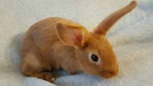 Sweet Beautiful & Rare Purebred Thrianta Rabbit - 1 Boy Left