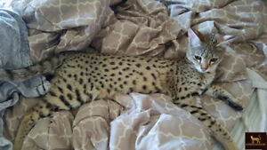 Golden Female F2 Savannah cat available similar to a Bengal