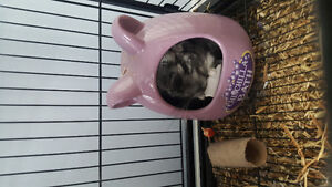 Chinchilla, comes with cage and accessories!