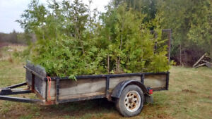 Cedar Trees for Sale