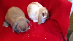 Baby Bunnies Holland Lop Females litter trained Nonsmoker