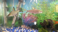 Sylver sharks and red tail black sharks