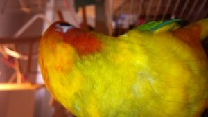 Sun Conure Baby, For Sale - Serious Buyers Only!!!!! Cambridge Kitchener Area image 4
