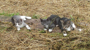 3 Young barn male cats looking for homes