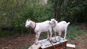 twin baby goats