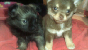 3 /4 Pomeranian  puppies for sale plz call  226 567 9998