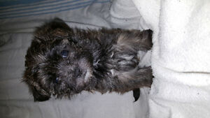 Only 2 Boy Morkie puppies left!!